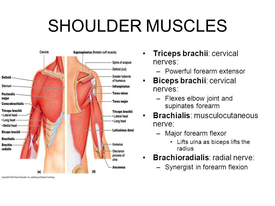 SHOULDER MUSCLES Triceps brachii: cervical nerves: