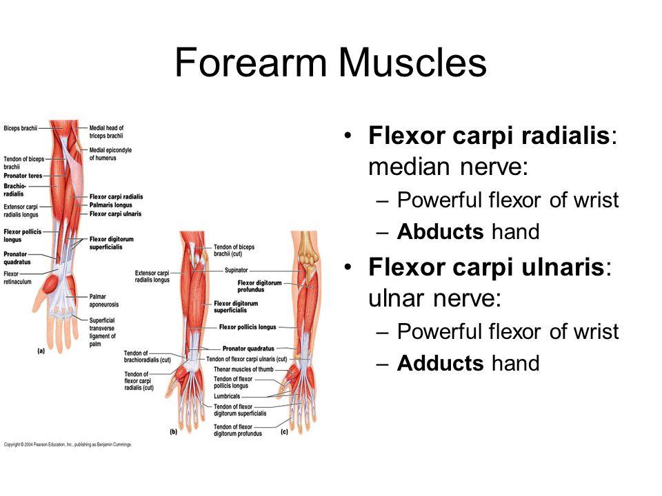 Forearm Muscles Flexor carpi radialis: median nerve:
