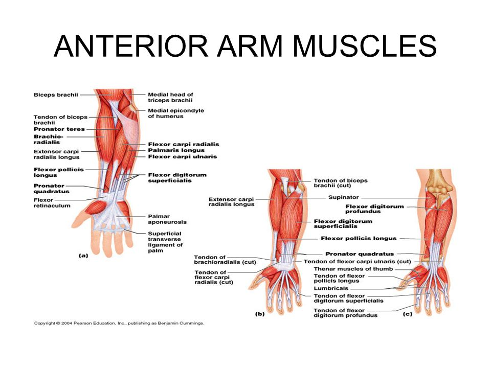 ANTERIOR ARM MUSCLES