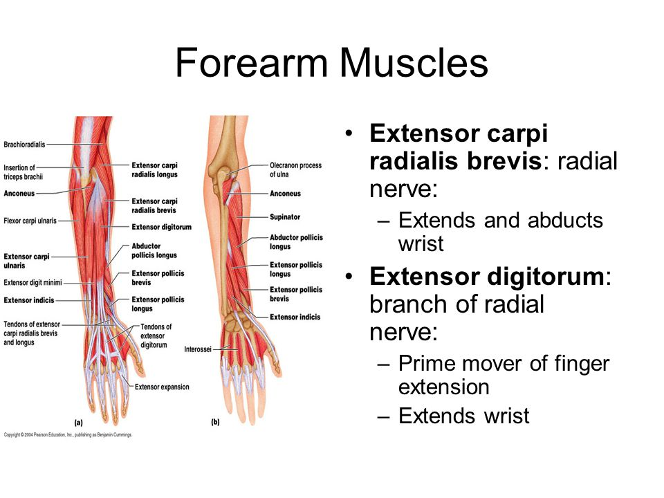 Forearm Muscles Extensor carpi radialis brevis: radial nerve: