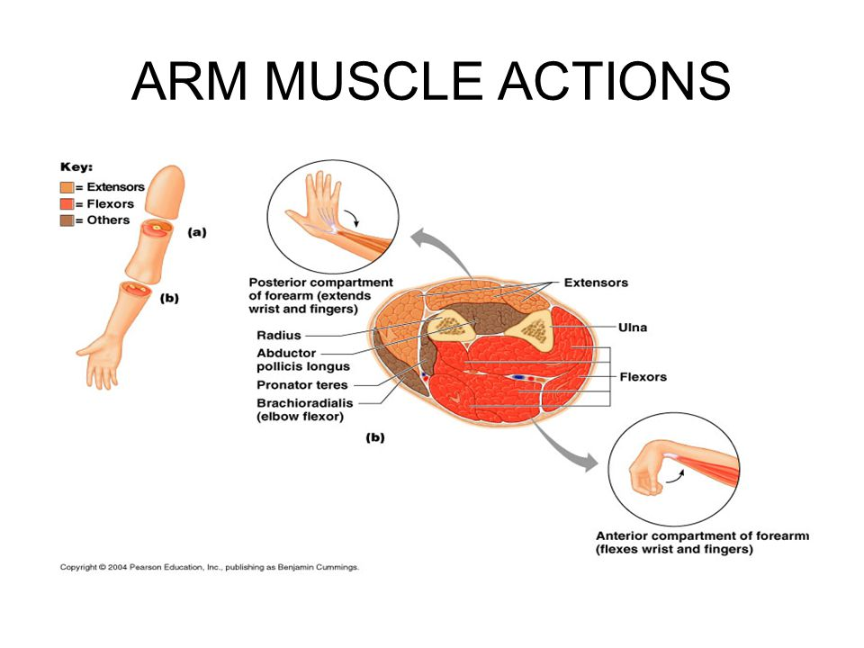 ARM MUSCLE ACTIONS
