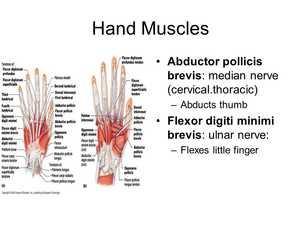 Hand Muscles Abductor pollicis brevis: median nerve (cervical.thoracic) Abducts thumb. Flexor digiti minimi brevis: ulnar nerve: