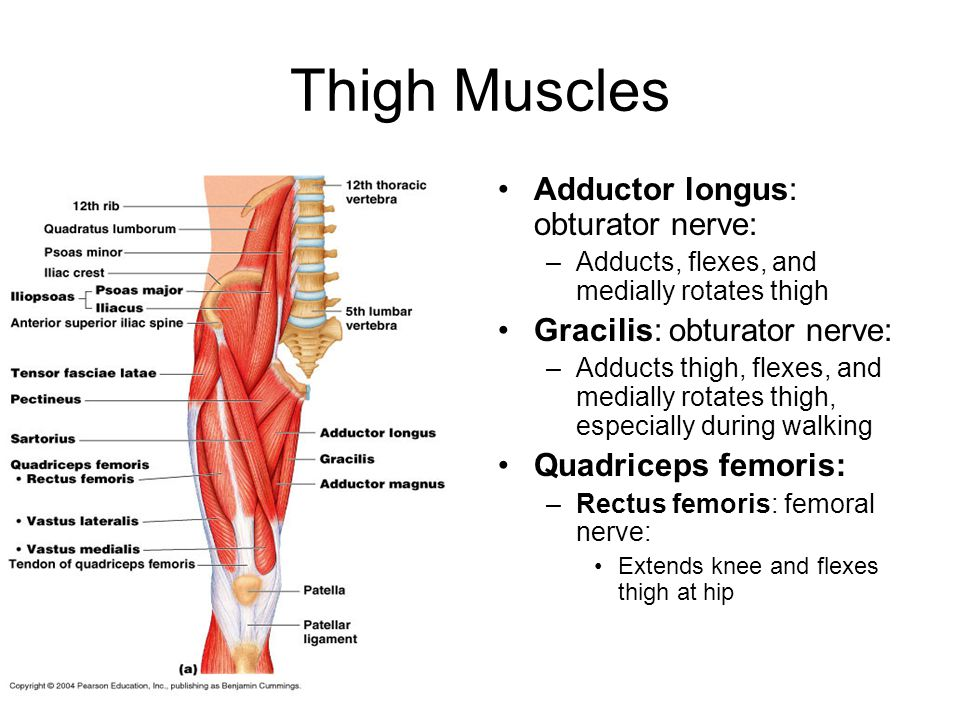 Thigh Muscles Adductor longus: obturator nerve: