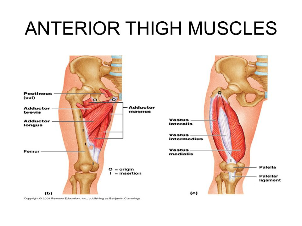 ANTERIOR THIGH MUSCLES