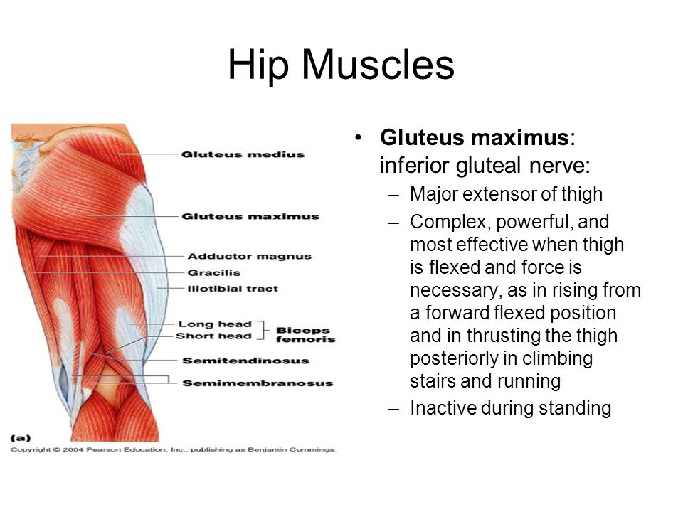 Hip Muscles Gluteus maximus: inferior gluteal nerve: