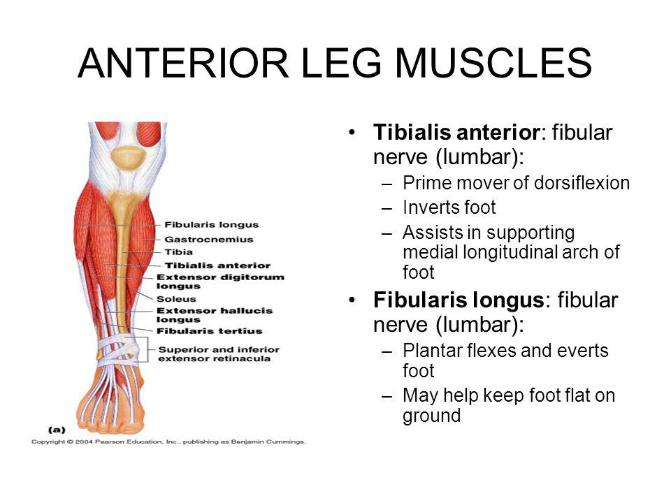 ANTERIOR LEG MUSCLES Tibialis anterior: fibular nerve (lumbar):