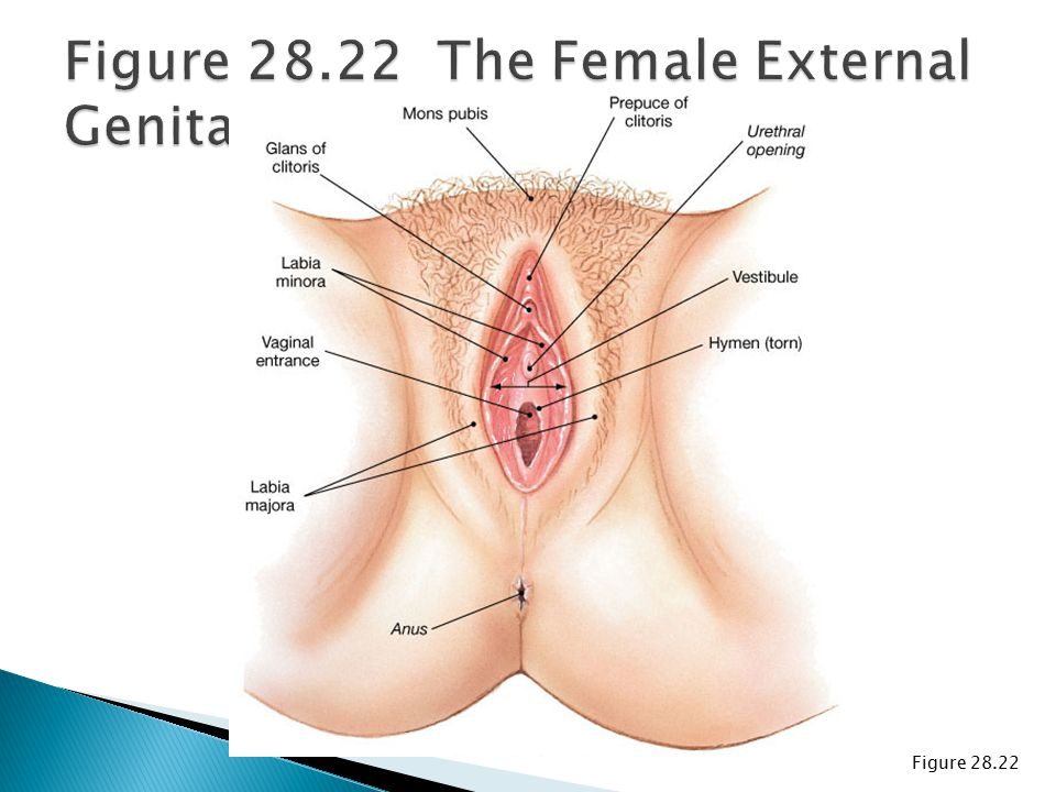 Figure 28.22 The Female External Genitalia
