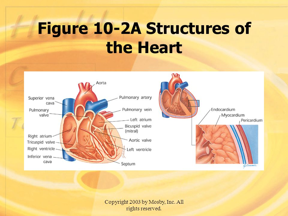 Figure 10-2A Structures of the Heart