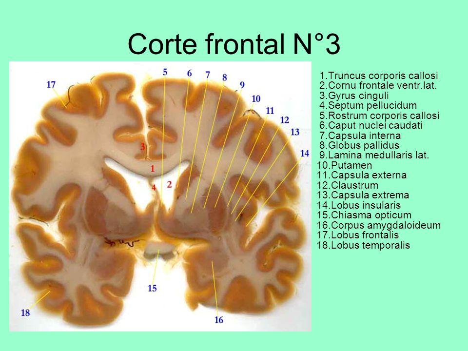 Corte frontal N°3