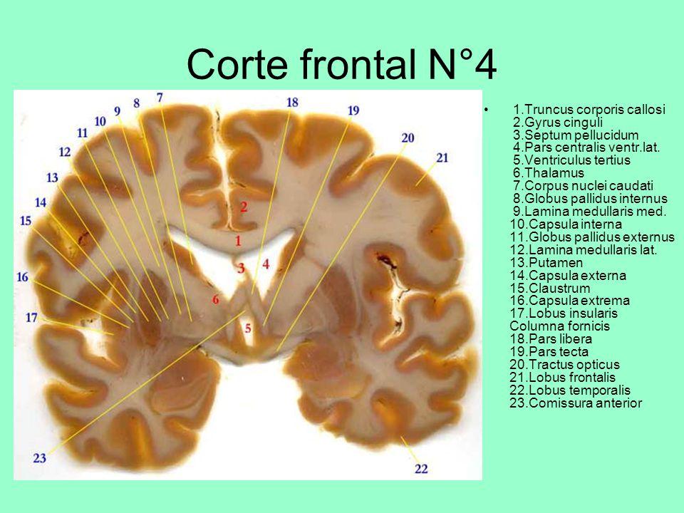 Corte frontal N°4