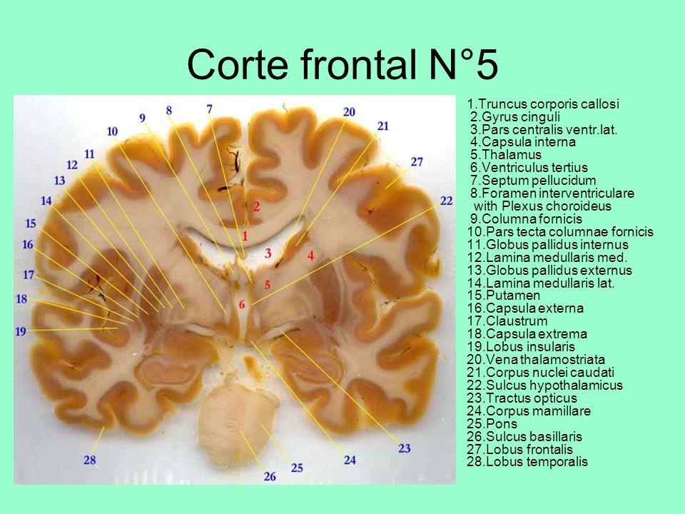 Corte frontal N°5