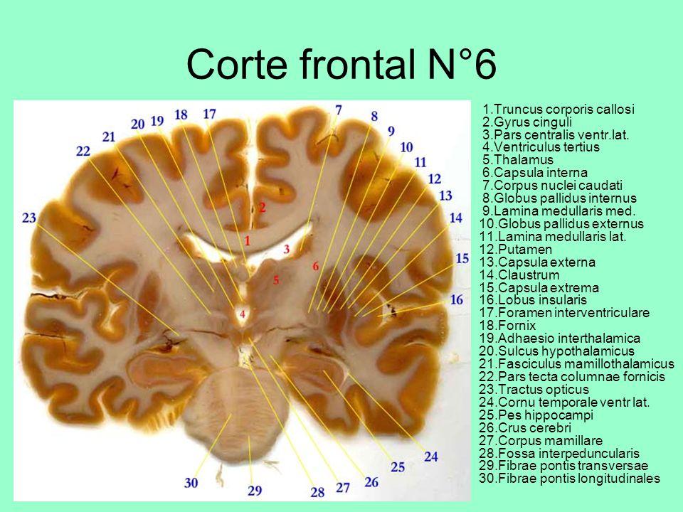 Corte frontal N°6