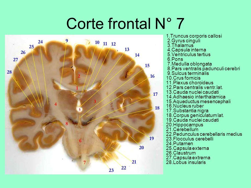 Corte frontal N° 7