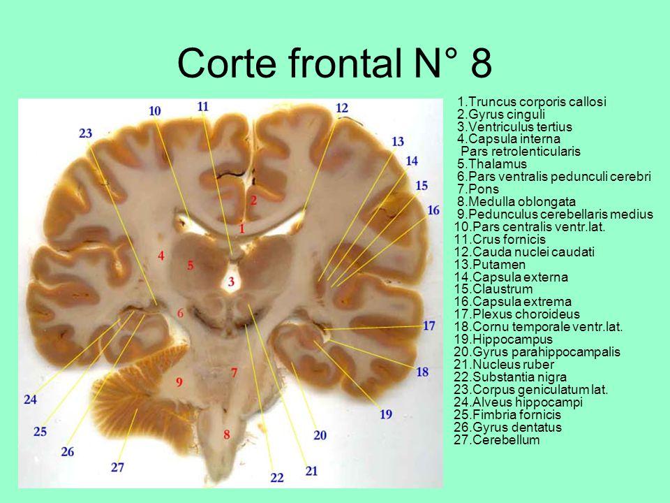 Corte frontal N° 8