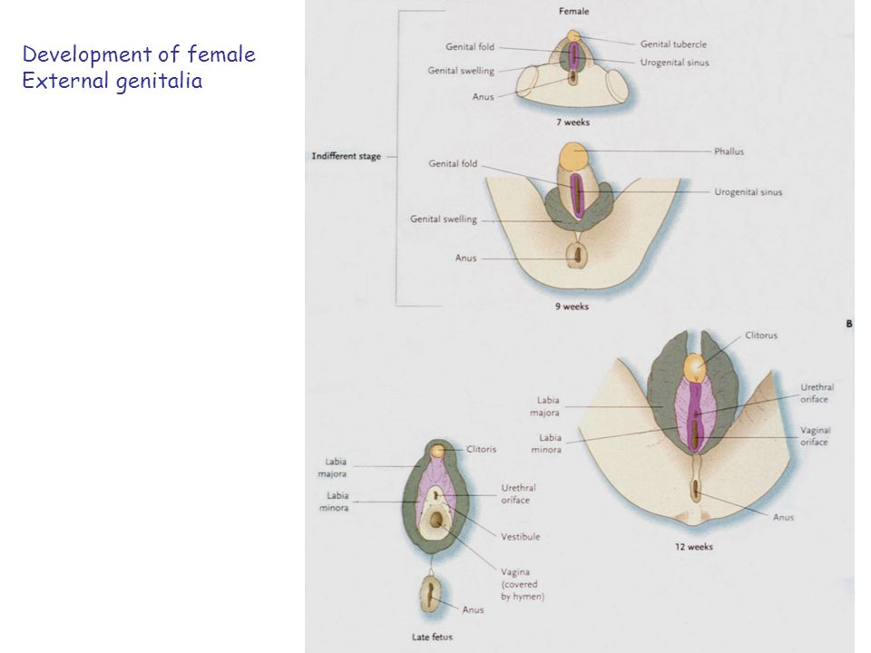 Development of female External genitalia