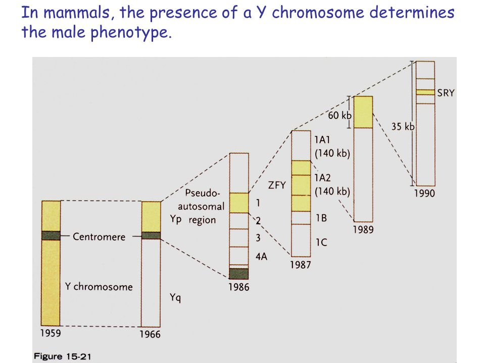 In mammals, the presence of a Y chromosome determines