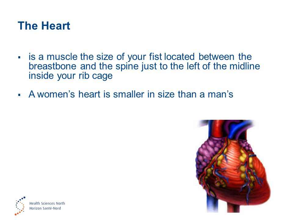 The Heart is a muscle the size of your fist located between the breastbone and the spine just to the left of the midline inside your rib cage.