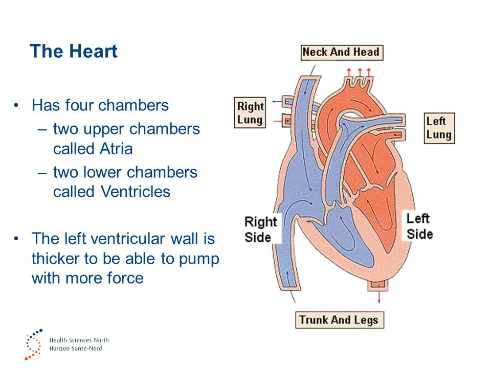 The Heart Has four chambers two upper chambers called Atria