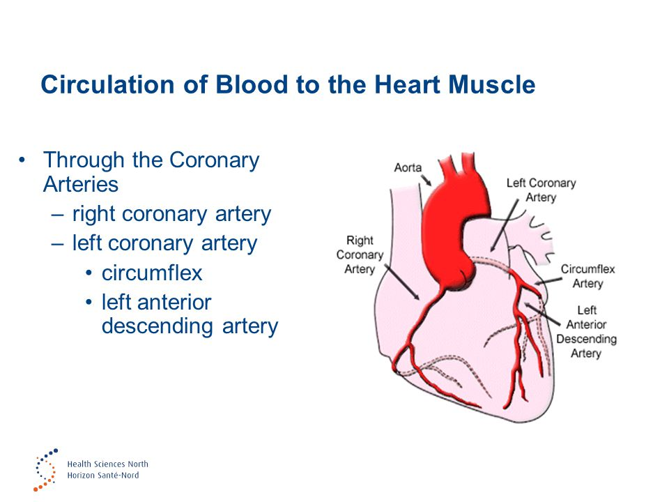 Circulation of Blood to the Heart Muscle
