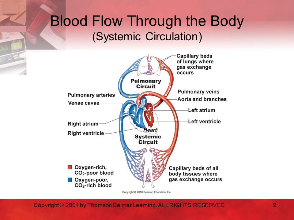 Blood Flow Through the Body (Systemic Circulation)