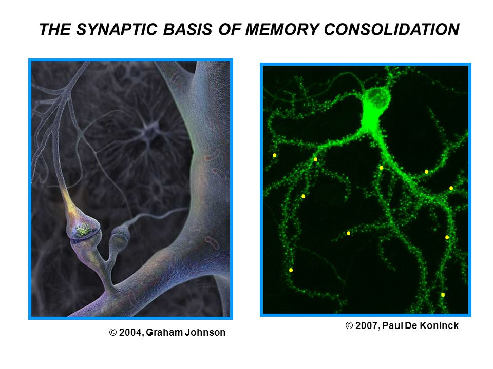 THE SYNAPTIC BASIS OF MEMORY CONSOLIDATION