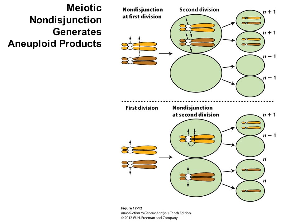 Meiotic Nondisjunction Generates Aneuploid Products