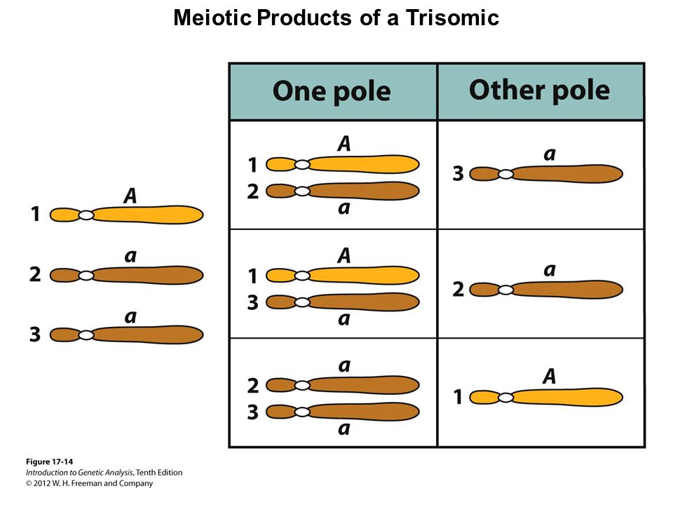 Meiotic Products of a Trisomic