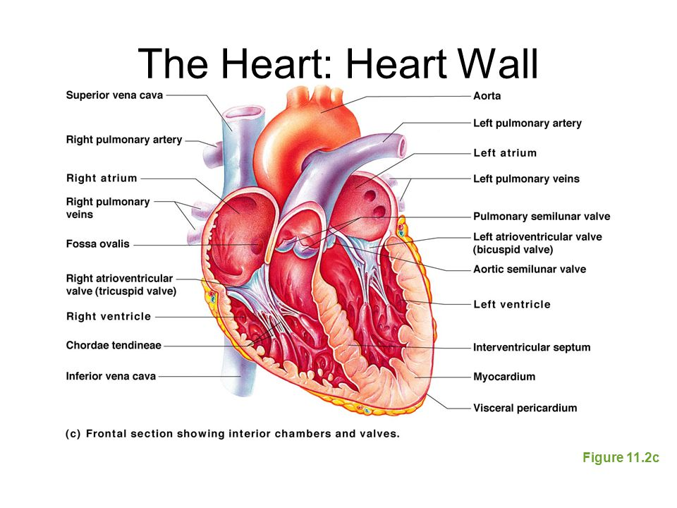 The Heart: Heart Wall Figure 11.2c
