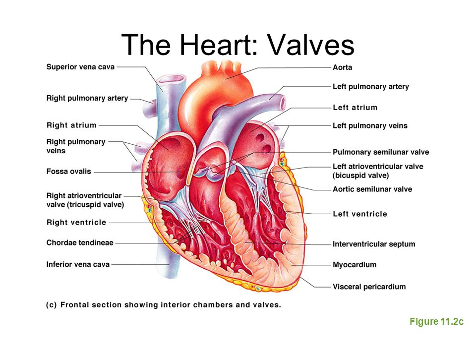 The Heart: Valves Figure 11.2c