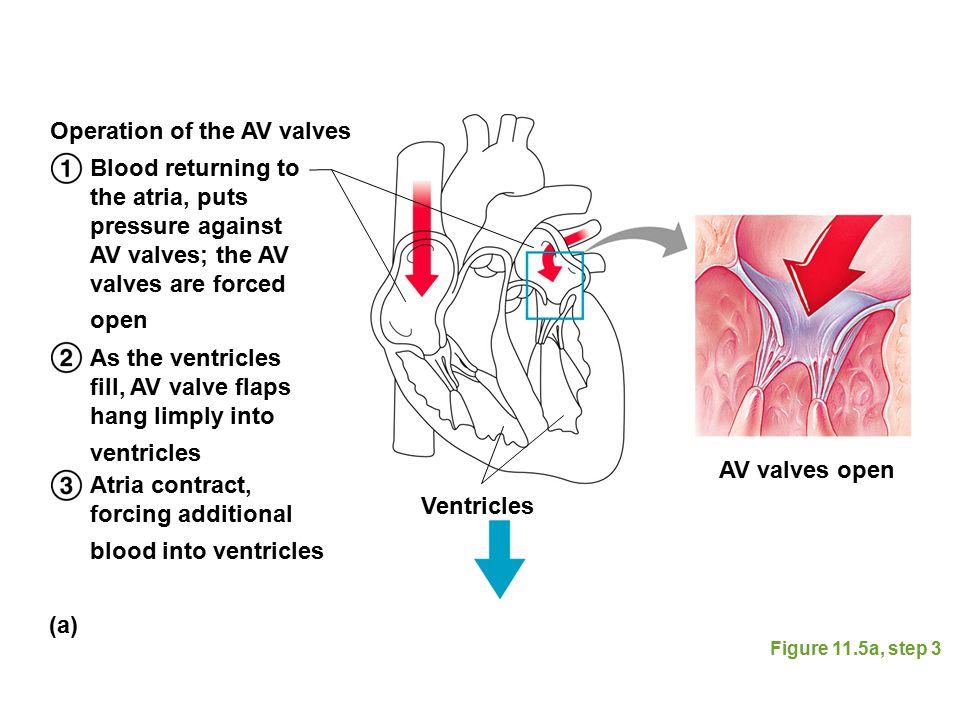 Operation of the AV valves
