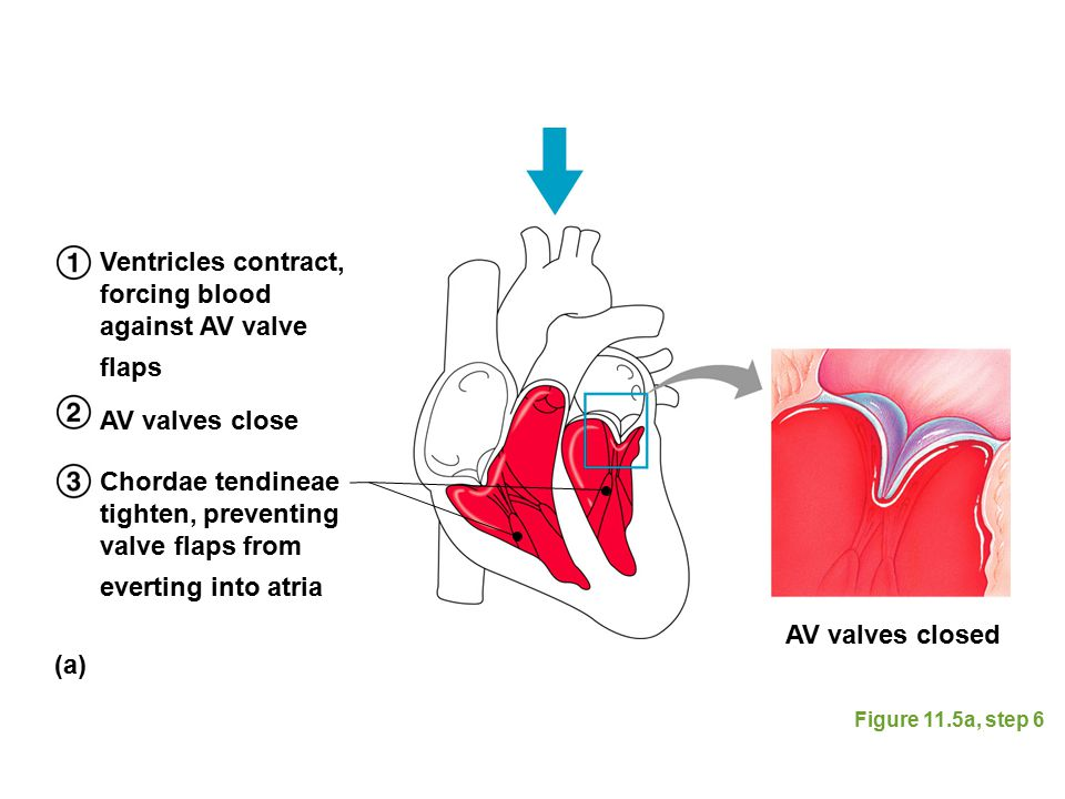 Ventricles contract, forcing blood against AV valve flaps