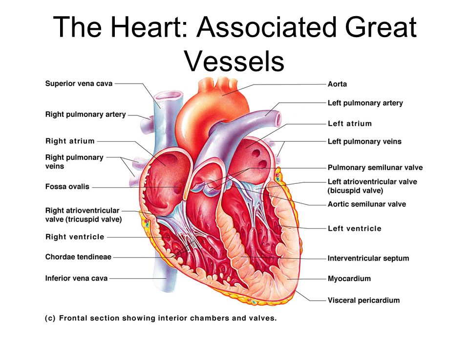 Funky Great Vessels Of The Heart Anatomy Illustration - Anatomy ...