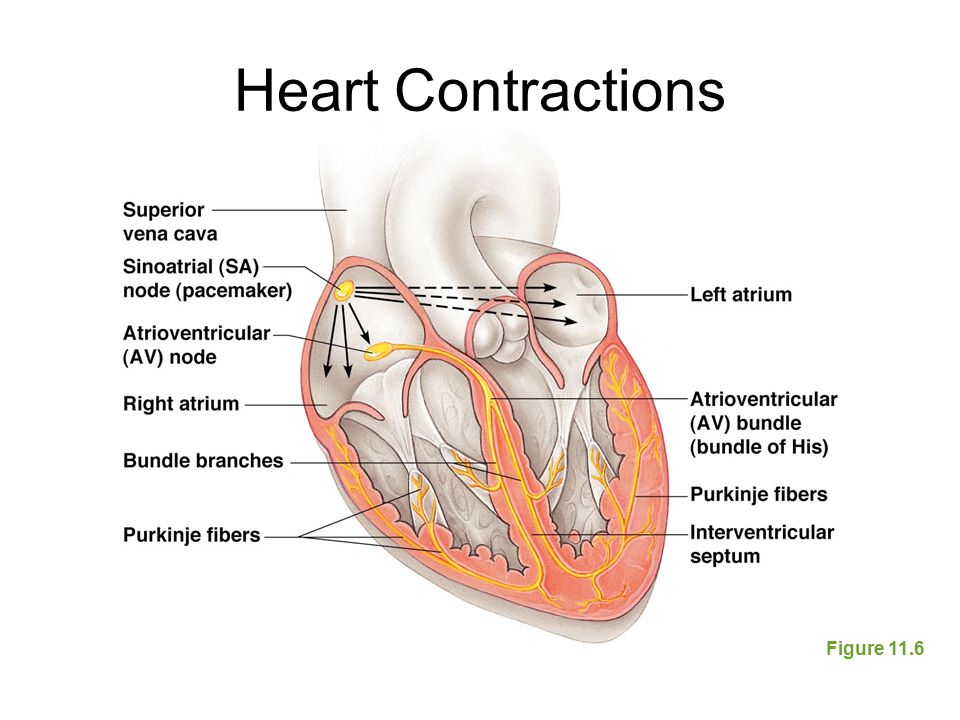 Heart Contractions Figure 11.6