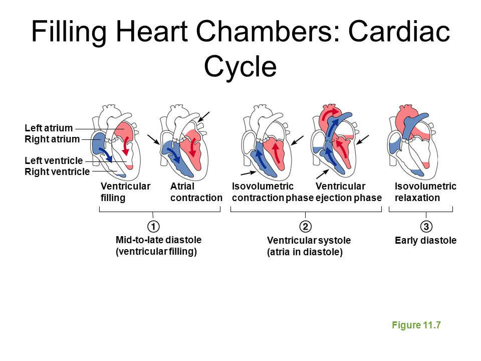 Filling Heart Chambers: Cardiac Cycle