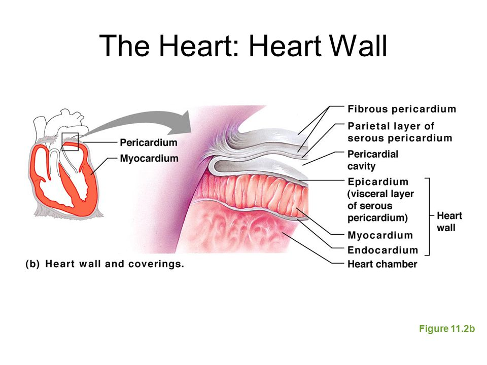The Heart: Heart Wall Figure 11.2b