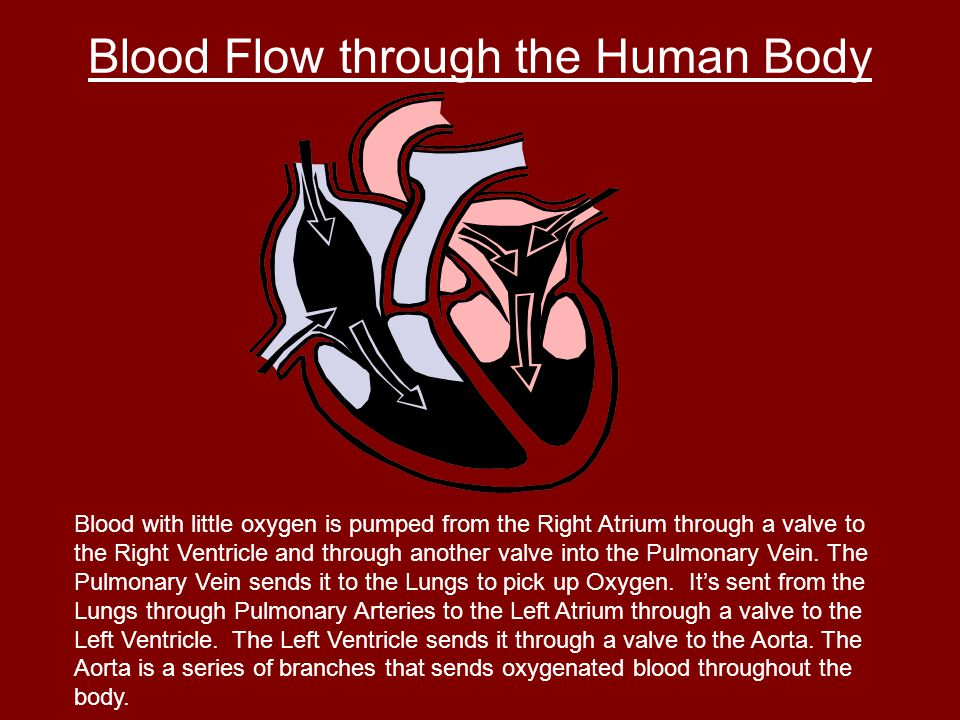 Blood Flow through the Human Body