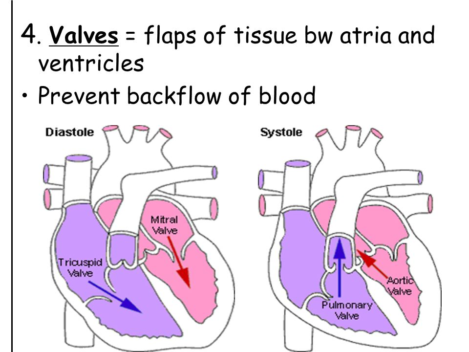 4. Valves = flaps of tissue bw atria and ventricles