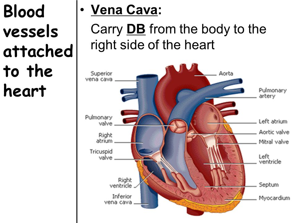 Blood vessels attached to the heart