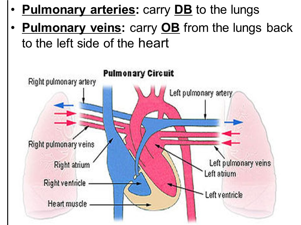 Pulmonary arteries: carry DB to the lungs