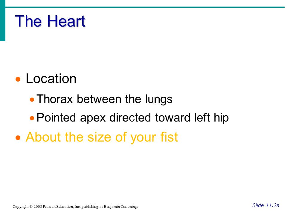 The Heart Location About the size of your fist