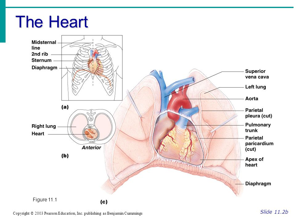 The Heart Figure 11.1 Slide 11.2b