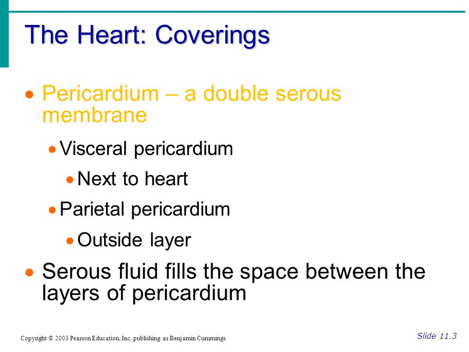 The Heart: Coverings Pericardium – a double serous membrane