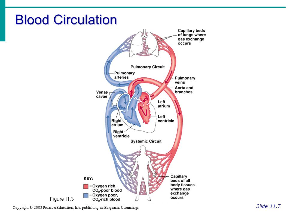 Blood Circulation Figure 11.3 Slide 11.7