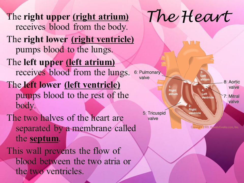The Heart The right upper (right atrium) receives blood from the body.