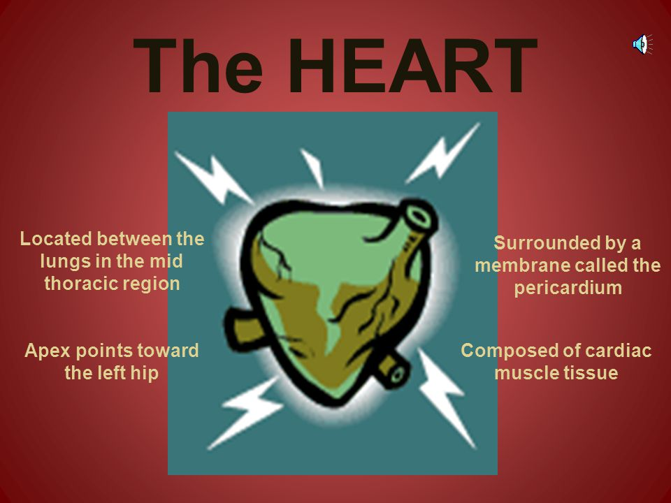 The HEART Located between the lungs in the mid thoracic region