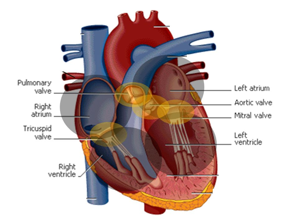 Right and left are based on the position of the heart within the body