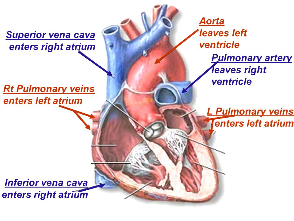 Aorta leaves left ventricle