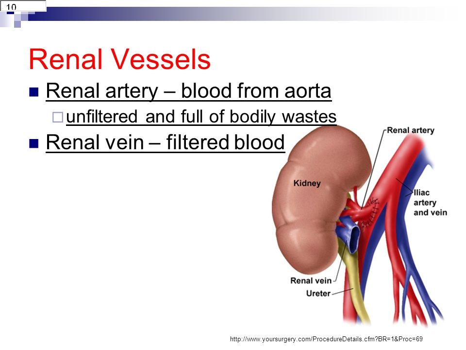 Renal Vessels Renal artery – blood from aorta