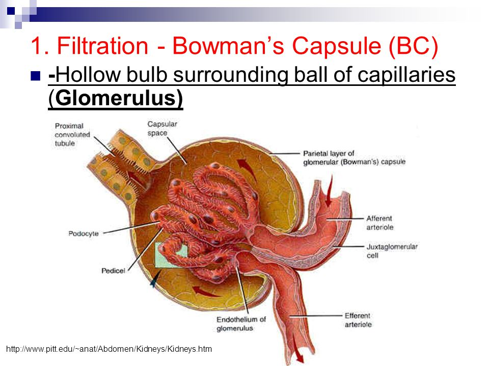 1. Filtration - Bowman's Capsule (BC)