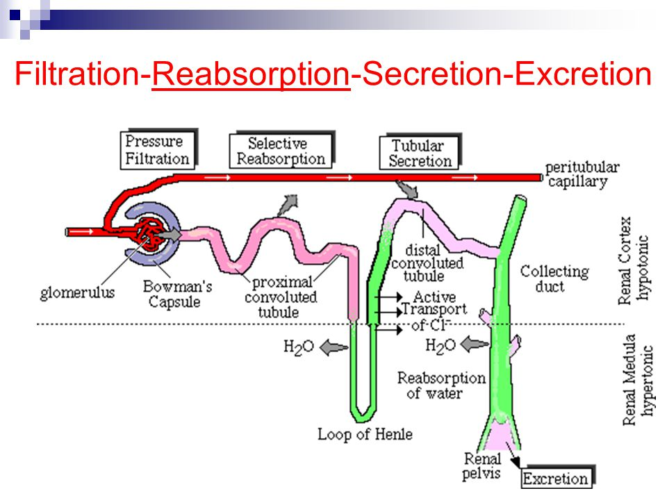 Filtration-Reabsorption-Secretion-Excretion